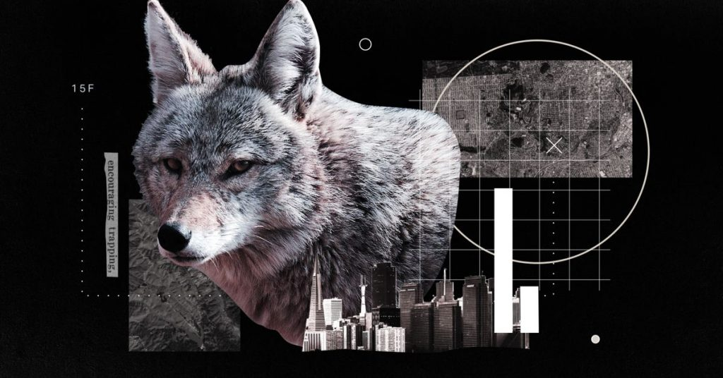 How coyotes made their homes in The Usa's cities
